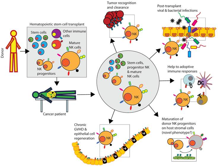 what is the function of natural killer cells