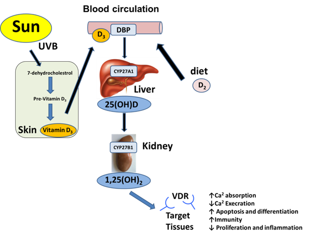 Calcitriol In Bination Therapy For Prostate Cancer. J Cancer. Wiring. Homeostasis Diagram Of Vit D At Scoala.co
