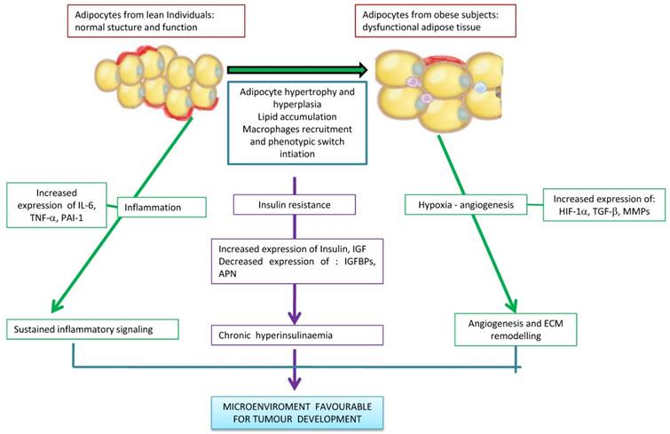 Obesity and cancer: the role of adipose tissue and adipo-cytokines