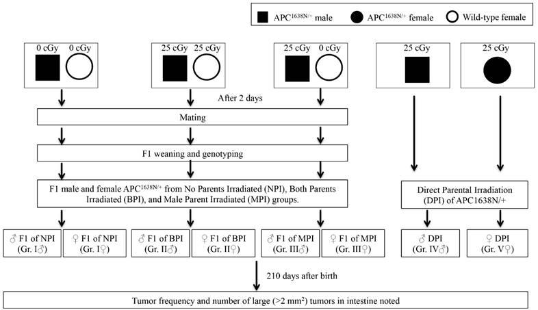 Increased Transgenerational Intestinal Tumorigenesis in Offspring of