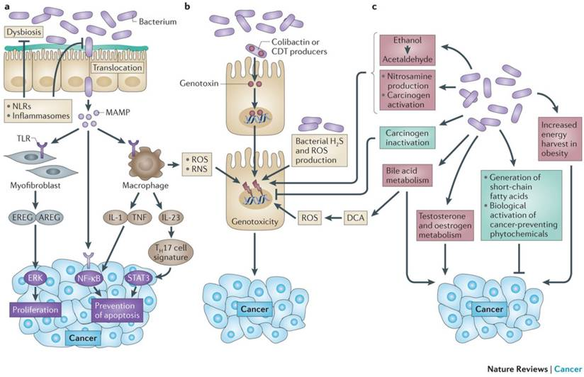 Linking Gut Microbiota To Colorectal Cancer