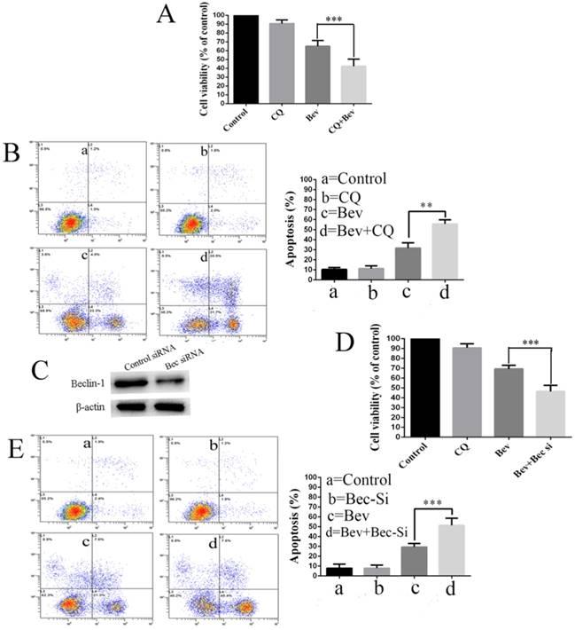 Autophagy inhibition enhances etoposide-induced cell death
