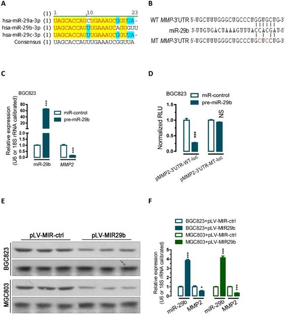 miR-29b negatively regulates MMP2 to impact gastric cancer