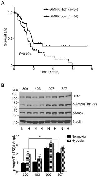 AMPK Inhibition Suppresses the Malignant Phenotype of