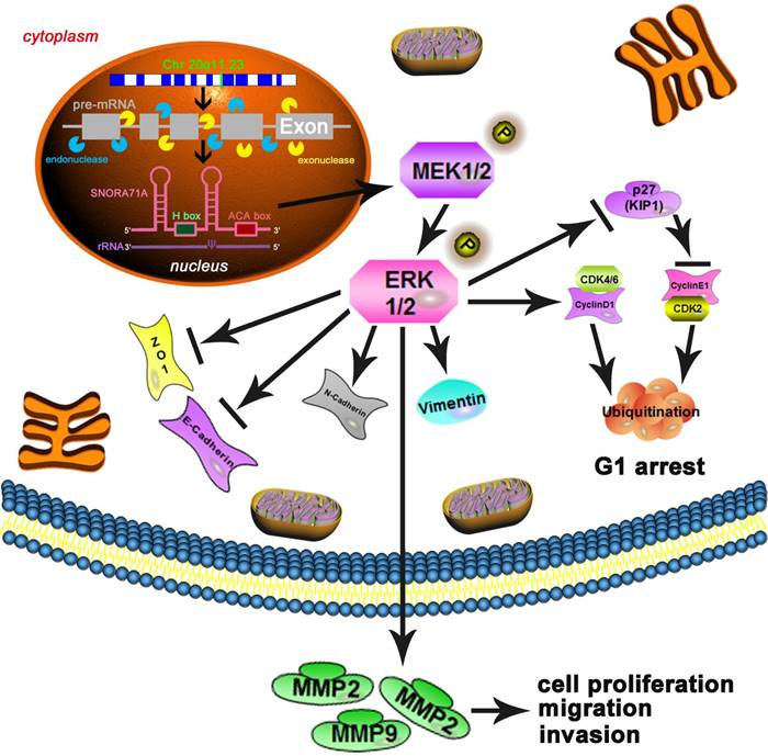Small Nucleolar RNA 71A Promotes Lung Cancer Cell Proliferation