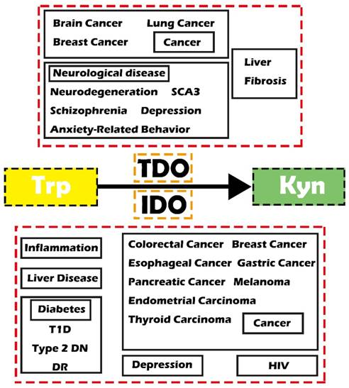 Role Of Ido And Tdo In Cancers And Related Diseases And The Therapeutic Implications